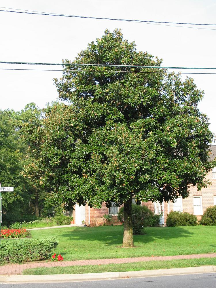 Cucumbertree Magnolia Acuminata Washington American Trees Bryce