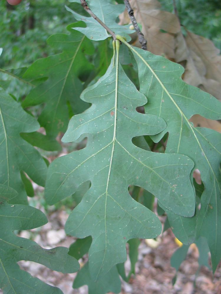 Quercus_alba - JungleKey.fr Image  Quercus_alba - ...