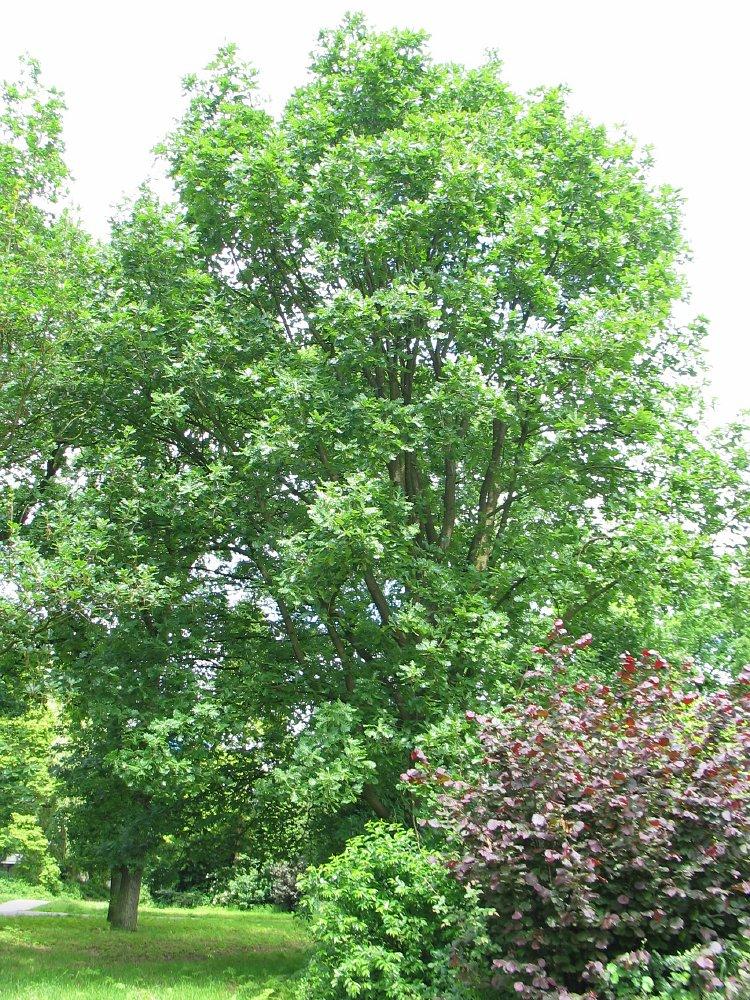 Hongaarse eik Quercus frainetto Hungarian oak Dutch ...