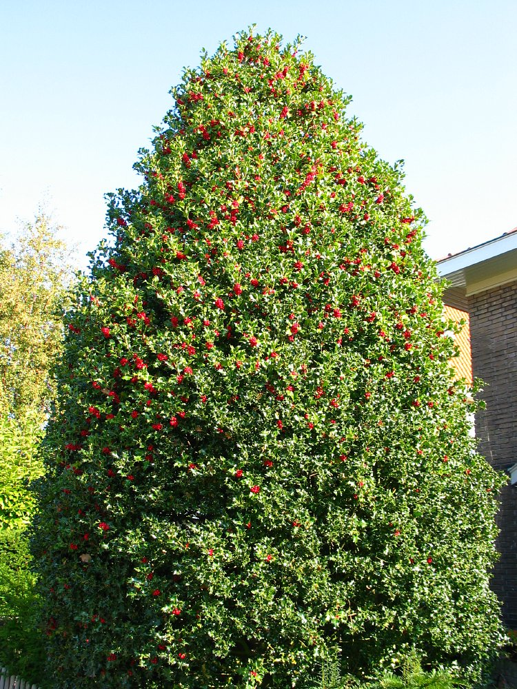 hollytree latin singles Japanese holly compacta  i recently ripped out my front garden and cut down and ground away an overgrown holly tree and would like  a single story house .