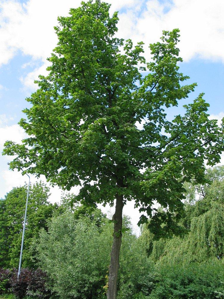 Storbladet lind Bigleaf Linden hollandsk Treeguide Hos Wwwbomengidsnl, europæisk Træer-3148