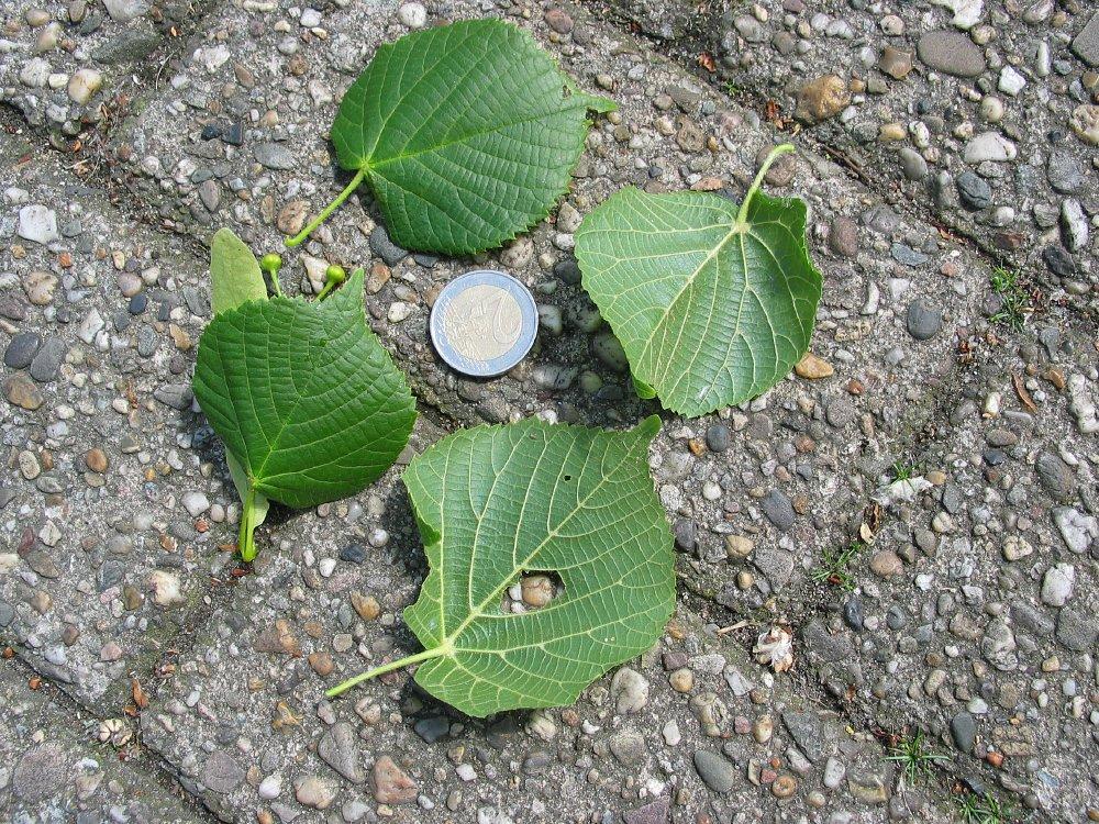 Storbladet lind Bigleaf Linden hollandsk Treeguide Hos Wwwbomengidsnl, europæisk Træer-9082