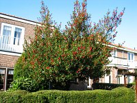 summer photograph Hulst__Ilex_aquifolium__Hollyimg_4337.jpg