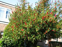 summer photograph Hulst__Ilex_aquifolium__Hollyimg_4338.jpg