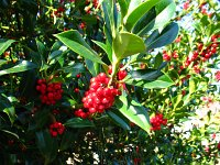 summer photograph Hulst__Ilex_aquifolium__Hollyimg_4339.jpg
