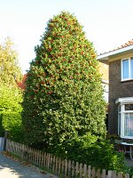 summer photograph Hulst__Ilex_aquifolium__Hollyimg_4340.jpg