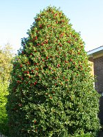 summer photograph Hulst__Ilex_aquifolium__Hollyimg_4341.jpg