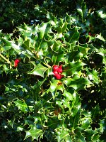 summer photograph Hulst__Ilex_aquifolium__Hollyimg_4342.jpg