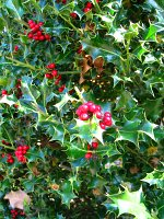 summer photograph Hulst__Ilex_aquifolium__Hollyimg_4343.jpg