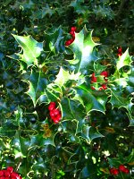 summer photograph Hulst__Ilex_aquifolium__Hollyimg_4344.jpg