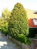 summer photograph Hulst__Ilex_aquifolium__Hollyimg_4345.jpg