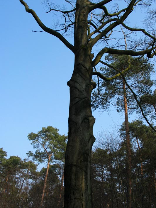 Bark Key For Dutch Hardwood Trees At Dutch Treeguide Www
