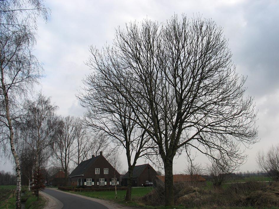 Es Ash fraxinus Bomen herkennen op deze bomen site ... | 945 x 709 jpeg 211kB