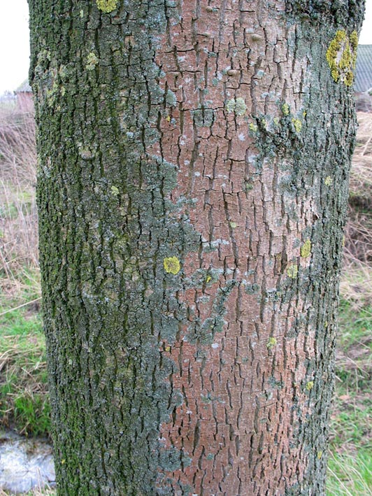 Winter bast sleutel voor Nederlandse loofbomen deel een | 532 x 709 jpeg 176kB