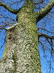 foto bomen: Hollandse_iep__Ulmus_hollandica__Dutch_Elm