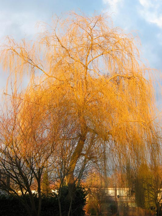 Dutch Treeguide At Www Bomengids Nl European Trees