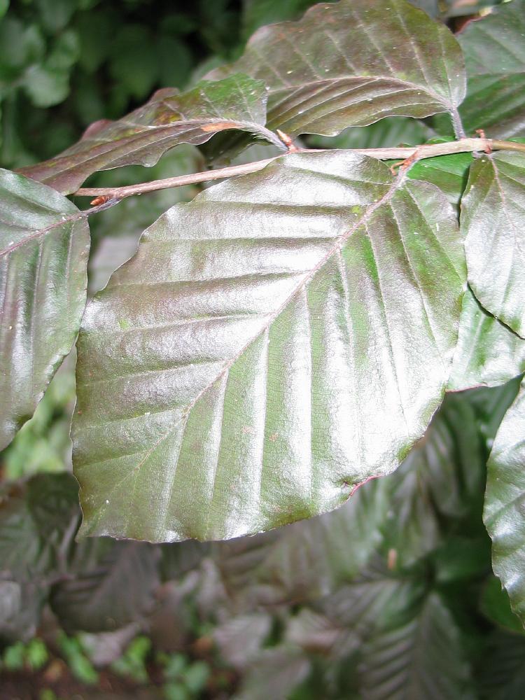 Fagus sylvatica europæiske Bøg hollandsk Treeguide Hos Wwwbomengidsnl, europæisk Træer-2127