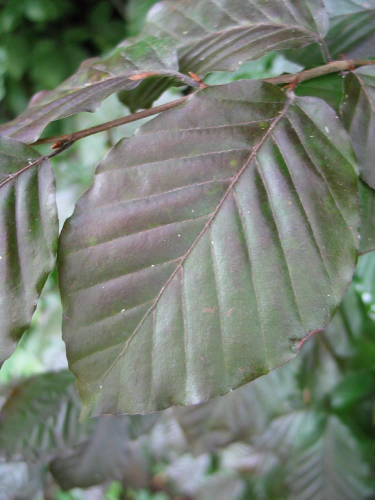 Fagus sylvatica europæiske Bøg hollandsk Treeguide Hos Wwwbomengidsnl, europæisk Træer-7354