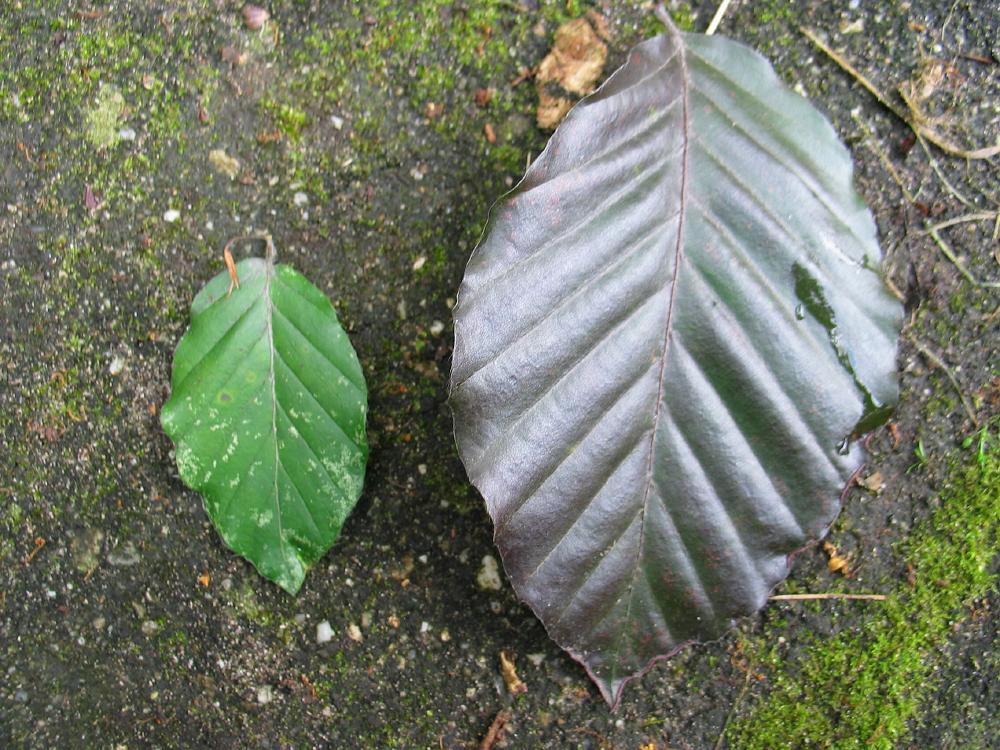 Fagus sylvatica europæiske Bøg hollandsk Treeguide Hos Wwwbomengidsnl, europæisk Træer-3020