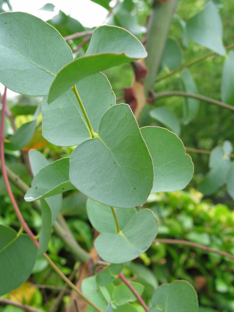 Eucalyptus Eucalyptus Globulus Blue Gum Tree Bomen