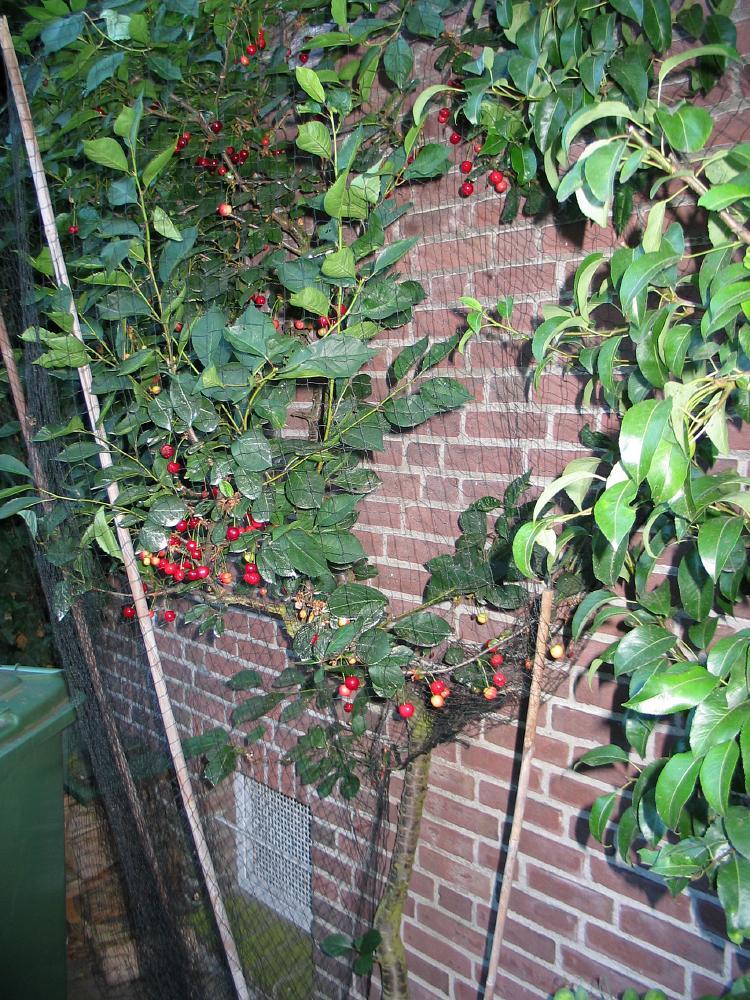 Kers prunus cherry bomen herkennen op deze bomen site recognizing dutch trees - Romanian cherry tree varieties ...