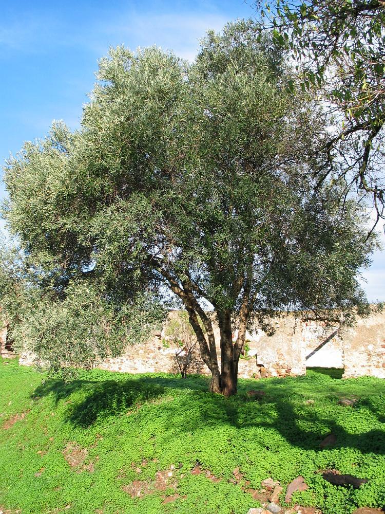 olijf olea europaea olive dutch treeguide at european trees. Black Bedroom Furniture Sets. Home Design Ideas