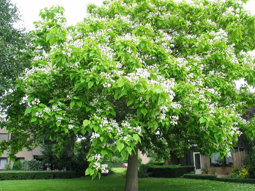 Trompetboom catalpa bignonioides southern catalpa bomen for Arboles crecimiento rapido hoja perenne