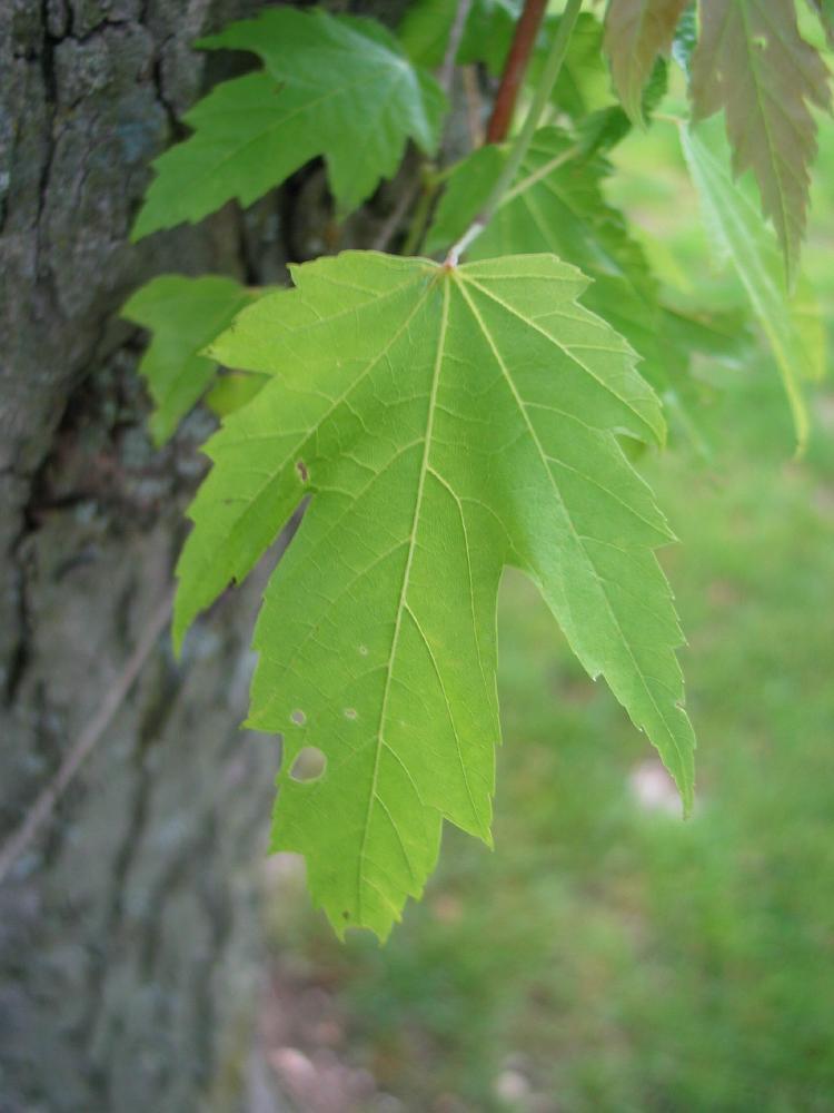 Esdoorn Maple Acer Bomen Herkennen Op Deze Bomen Site  Recognizing Dutch Trees