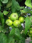 summer photograph Appel__Malus_sylvestris__Appleimg_5412.jpg