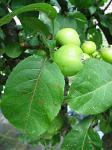 summer photograph Appel__Malus_sylvestris__Appleimg_5413.jpg