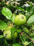 summer photograph Appel__Malus_sylvestris__Appleimg_5434fruit.jpg