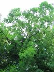 summer photograph Gewone_es__Fraxinus_excelsior__Common_ashimg_4767.jpg