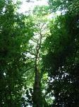 summer photograph Gewone_es__Fraxinus_excelsior__Common_ashimg_4773.jpg