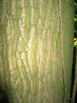 summer photograph Gewone_es__Fraxinus_excelsior__Common_ashimg_4776.jpg