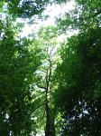 summer photograph Gewone_es__Fraxinus_excelsior__Common_ashimg_4778.jpg
