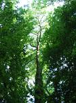 summer photograph Gewone_es__Fraxinus_excelsior__Common_ashimg_4779.jpg