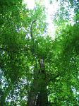 summer photograph Gewone_es__Fraxinus_excelsior__Common_ashimg_4787.jpg