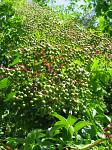 summer photograph Gewone_vlier__Sambucus_nigra__Black_elderberryimg_5724fruit.jpg
