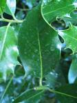 summer photograph Hulst__Ilex_aquifolium__Hollyimg_5457.jpg