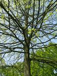 summer photograph Moeraseik__Quercus_palustris__Pin_oakimg_2914.jpg