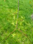 summer photograph Moeraseik__Quercus_palustris__Pin_oakimg_2918.jpg