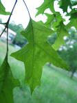 summer photograph Moeraseik__Quercus_palustris__Pin_oakimg_4282blad.jpg