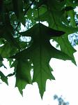 summer photograph Moeraseik__Quercus_palustris__Pin_oakimg_4283blad.jpg