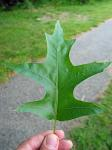 summer photograph Moeraseik__Quercus_palustris__Pin_oakimg_4285.jpg