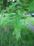 summer photograph Moeraseik__Quercus_palustris__Pin_oakimg_4288blad.jpg