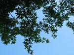 summer photograph Moeraseik__Quercus_palustris__Pin_oakimg_4293.jpg
