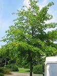 summer photograph Moeraseik__Quercus_palustris__Pin_oakimg_4631.jpg