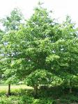 summer photograph Moeraseik__Quercus_palustris__Pin_oakimg_4636.jpg