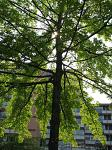 summer photograph Moeraseik__Quercus_palustris__Pin_oakimg_4640.jpg