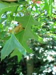 summer photograph Moeraseik__Quercus_palustris__Pin_oakimg_5713.jpg